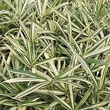 그라스 흰줄무늬대사초 포트 5개|