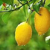 상큼한 레몬트리♥수형완성 레몬나무 성목 외목수형 화분상품♥오리지널 단품♥시트러스|