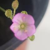 끈끈이주걱(핑크)|