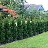 세종식물원 조경수 정원수 신품종 사파이어그린 묘목 화분|