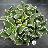 미파01 Faucaria bosscheana