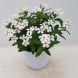 페어리스타(흰꽃)|