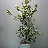 하트고무나무,스윗하트C967-동일품배송