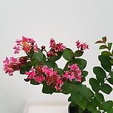 목백일홍(분홍겹/사진배송)