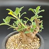 마켓티니엔시스 아프리카 식물 