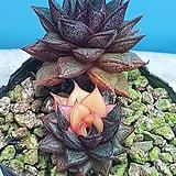 모노케로티스 환엽 금|Echeveria Monocerotis