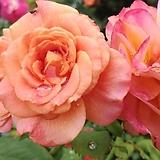 독일장미.4계.라빌라코타.예쁜환타오렌지색.old rose 향기.꽃10cm.아주예뻐요.정원관목장미.월동가능.상태굿.늦가을까지 피고 합니다.~~~|