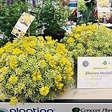 다육식물 아틀란티스 세덤 포트 5개|