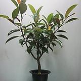 멜라니고무나무,대품C971-굵은목대,동일품배송 