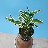 은설|Sedum spathulifolium