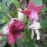 삼색병꽃나무|