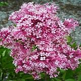 세종식물원 조경수 정원수 향기좋은 라일락 팅커벨 Tinkerbell 묘목 포트|Echeveria cv Peale von Nurnberg