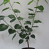 휘커스 렐리지오사,인도보리수나무,대품C980-굵은목대,동일품배송,무료배송 