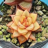모노케로티스 복륜금|Echeveria Monocerotis