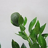 열매맺힌 한라봉C1003-굵은목대,동일품배송 