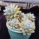 오래오래묵은) 후레뉴자연군생  0727-777|Pachyphytum cv Frevel
