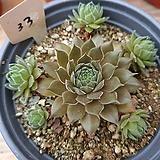 Echeveria Beninoturu(JAPAN hyb)