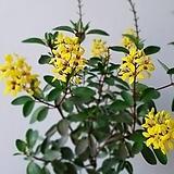 긴꾸따루.금생호랑이의꼬리.예쁜노랑색의꽃.꽃대있어요.상태굿.베란다월동.남부지역에서 노지월동가능합니다~|