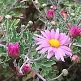 노지월동 되는분홍 향수국|