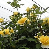 4계넝쿨장미.골드바니.(예쁜겹형.예쁜노랑색).old rose 향기.아주예뻐요.(찔레형).울타리.넝쿨장미.월동가능.상태굿..늦가을까지 피고 합니다.|