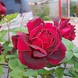 4계명품수입넝쿨장미.오클라호마.(예쁜겹형.예쁜진한빨강색.흑장미).old rose 향기.꽃13cm.아주예뻐요.울타리.넝쿨장미.월동가능.상태굿..늦가을까지 피고 합니다.~|Echeveria Black Rose