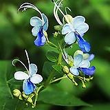 꽃대가 바글바글 나비수국 (대품) 