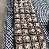 방울복랑금(1포트당 단가입니다 랜덤발송 좋은아이순으로 배송나갑니다)|Cotyledon orbiculata cv variegated