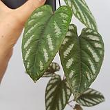 시서스디스콜라  수입식물  동일상품발송|