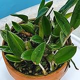 차밍루비 무늬종 (미니 카틀레아)|