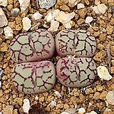 위트버젠스 안수희 |Conophytum Wittebergense