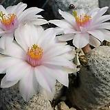 백조(백로) 수입 씨앗 5립- 흰꽃 |
