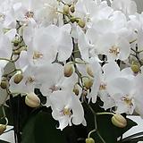 호접란 ch15.점박이유키.순수한 백색.흰색의점박이립프.신상품입고.고급종.전시회난상품.신품종.상태굿.희귀종.|