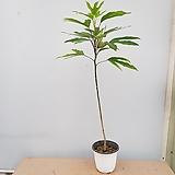 황칠나무|