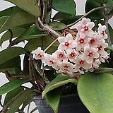 호야.카노사.핑크.꽃색깔예뻐요.향기좋은향.인테리어효과.공기정화식물.꽃눈이 있어요.|