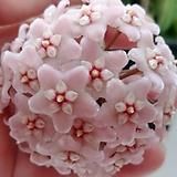 호야.컴팩타.쭈꾸리.트위스트.(분홍색꽃).꽃색깔예뻐요.향기좋은향.인테리어효과.공기정화식물.|