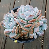 묵은자연군생 오리지널 오렌지먼로|Echeveria Monroe(Orange)