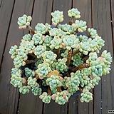 특대품 묵은자연군생 라울|Sedum Clavatum