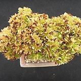 Aeonium arboreum