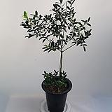 올리브나무(목대좋아요)|