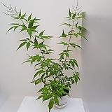 바이텍스(밀원식물/노지월동)|