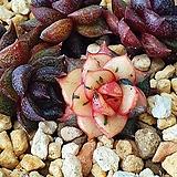 모노케로티스 옥장미 금|Echeveria Monocerotis
