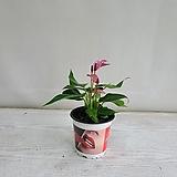 카라안시리움 보라/공기정화식물/반려식물/온누리 꽃농원|
