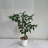 우포동백/공기정화식물/반려식물/온누리 꽃농원|