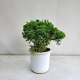 사어천 진백나무/단일상품/공기정화식물/반려식물/온누리 꽃농원|