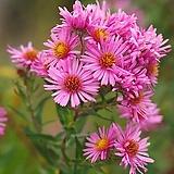 야생화 숙근아스타 핑크 포트 5개|