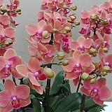 호접란 쿠이페이.밝은색.(예쁜오렌지브라운색).(꽃형 귀여운형).작은품종.인기상품.상태굿.|