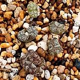 펠루시덤 세트 C. pellucidum sp.|Echeveria Lucy