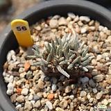 알스토니 560731|Avonia quinaria ssp Alstonii