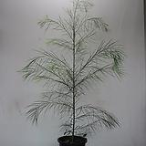 코그나타  가는잎아카시아,대품C1024-외목대,동일품배송,무료배송 