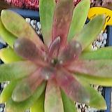 군작1367|Pachyphytum hookeri